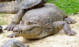 Широкомордий кайман - рептилія з широким носом