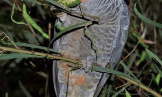 Шлемоносний какаду - птах з червоним чубчиком