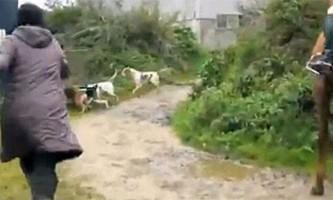 Захисниця тварин врятувала лисицю від мисливських собак