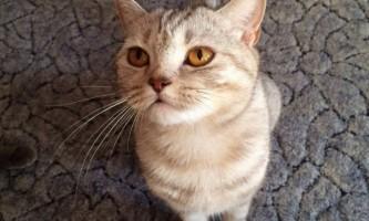 Шотландська прямоухая кішка (скоттиш страйт): характеристика породи