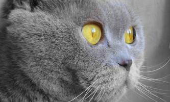 Шотландська висловуха кішка, або скоттиш фолд