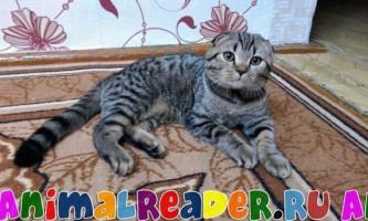 Шотландська висловуха кішка (скоттиш фолд): фото, опис породи