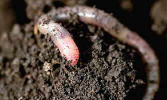 Шотландські вчені ведуть перепис дощових черв`яків