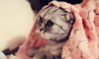Шотландські висловухі кішки - особливості породи, поведінку і догляд