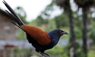 Шпорцевая зозуля: опис, спосіб життя і особливості поведінки птиці