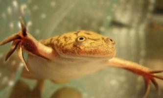 Шпорцевая жаба