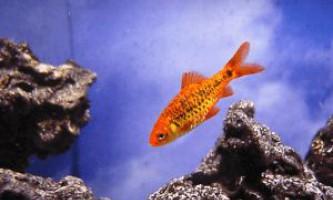 Шуберта барбус - миролюбна рибка