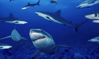 Шведська популяція акул знаходиться на межі вимирання