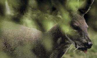 Сибірська кабарга - ікласту «кенгуру»