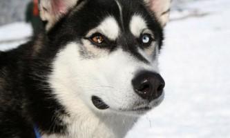 Сибірський хаскі - собака для упряжки
