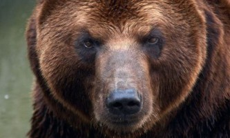 Сибірський ведмідь