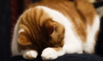 Сильне струс у кота: що робити?