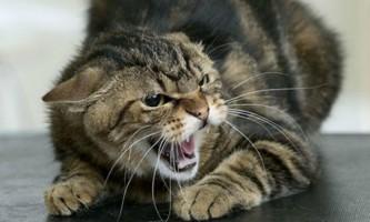 Симптоми сказу у кішок, періоди розвитку та форми хвороби