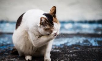Симптоми і лікування гепатиту у котів і кішок