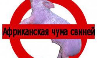 Симптоми і заходи профілактики африканської чуми свиней (ачс)