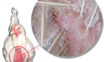 Симптоми появи курячих вошей, засоби для позбавлення від паразитів