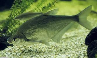 Синець - риба із сімейства коропових
