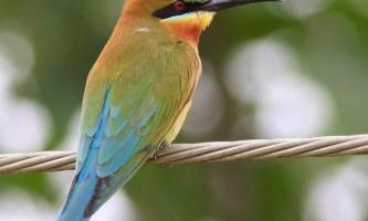 Сінехвостая щурка - барвиста, струнка птах