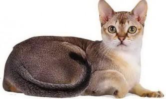 Сінгапуру - найменша кішка в світі