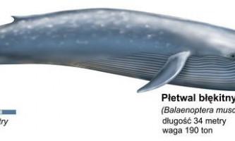 Синій кит - володар океанів