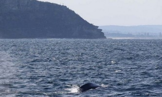 Синій кит вагою близько 200 тонн підплив до берега австралії