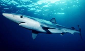 Синя акула, або мокой