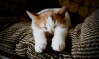 Сінулокс для кішок: інструкція із застосування
