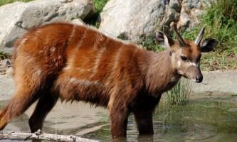 Сітатунга - напівводних антилопа