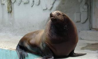 Сивуч - найбільший вухатий тюлень на планеті