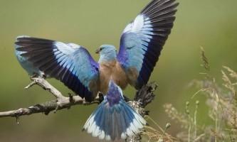 Сизоворонка звичайна: фото, опис квітчастій пташки