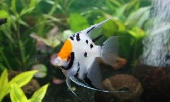 Скалярии: сумісність з іншими рибками