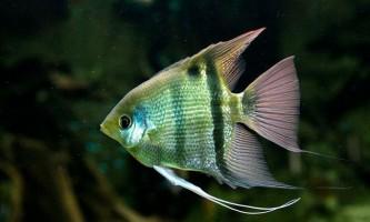 Скалярия: підходяща рибка для домашнього акваріума