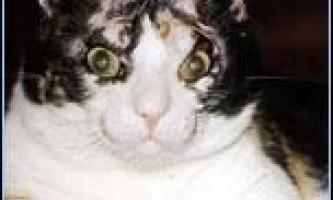 Скарлетт - найзнаменитіша кішка в америці