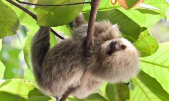 Скелет допомагає лінивців економити енергію