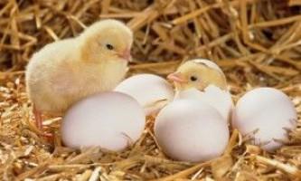 Скільки яєць несе курка в день і як поліпшити результати