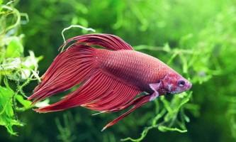 Скільки років проживе півник в акваріумі?