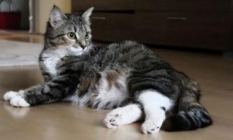 Скільки місяців кішка виношує кошенят?