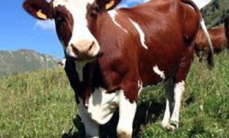 Скільки в середньому може прожити корова? Як визначити вік по зубах?