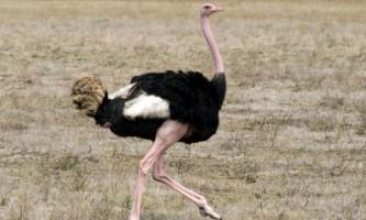 Скільки важить дорослий страус