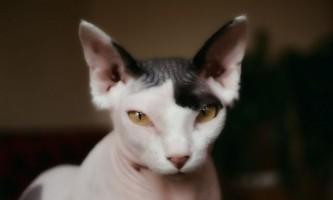 Скільки живуть кішки сфінкси?