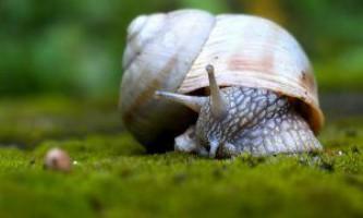 Скільки живуть равлики в акваріумі