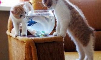 Скільки живуть золоті рибки?