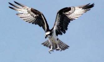 Скопа - білий птах в чорному «плащі»