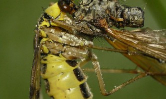 Ськорпіонніци звичайна (лат. Panorpa communis)