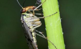 Скорпіонові муха. Чи має вона схожість зі скорпіонами?