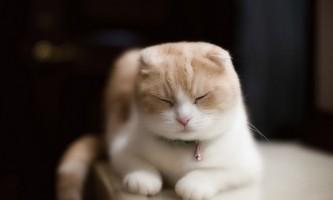 Скоттиш фолд (шотландська висловуха короткошерста кішка)