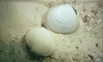 Скромний молюск здатний нейтралізувати величезну дозу отрути