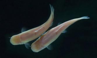 Сліпі риби вміють рахувати