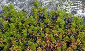 Занадто товстий сніговий покрив губить північні рослини