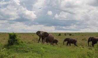 Слон посварився з буйволом в африканському заповіднику